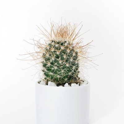 Round Cylinder White Pot Cactus