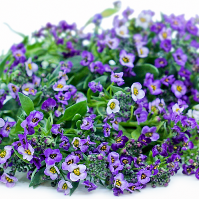 Flor de Mel Roxa 30 unidades