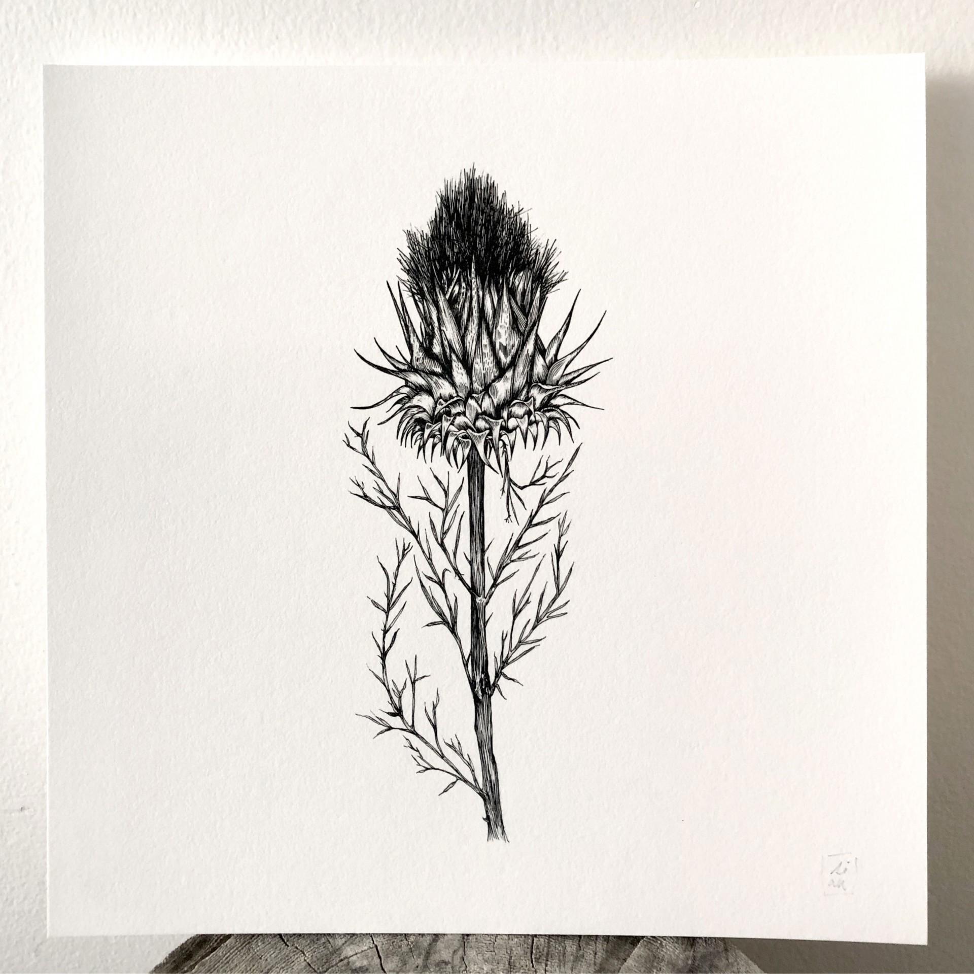 Fine Print Paper 'Cardo' Susana Antão Illustration