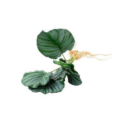 Flor pavão com raíz 30cm